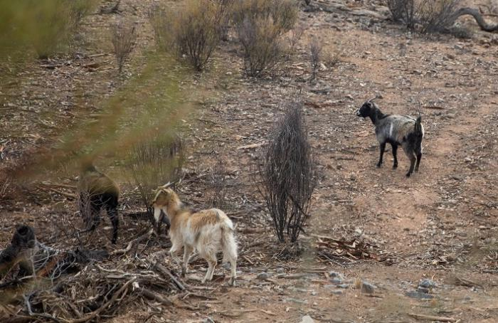 Three goats on a dry hillside amongst small trees and bushes.