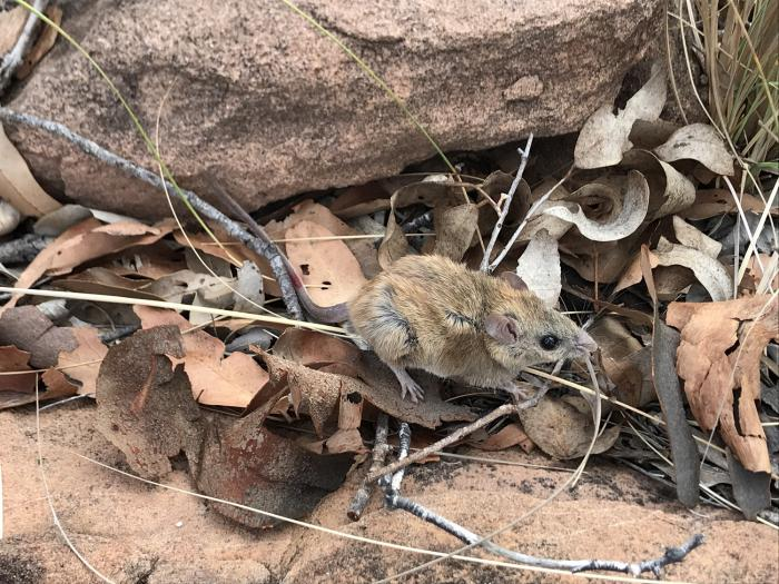 A small brown mouse stands on top of leaf litter in front of a rock and grass.