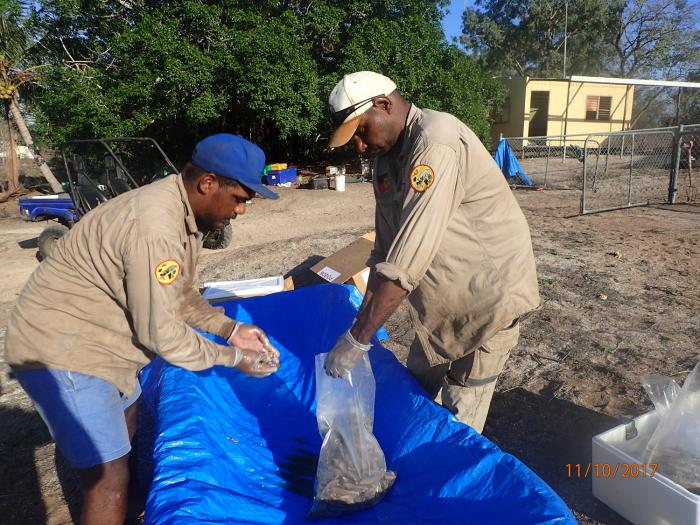 Two Aboriginal men stoop over a blue tarpaulin shaped as a trough. They are sorting through a plastic bag of bait.