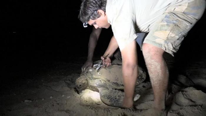 li-Anthawirriyarra Sea Ranger Sean Fitzpatrick tagging a sea turtle at night under torchlight on the sand.