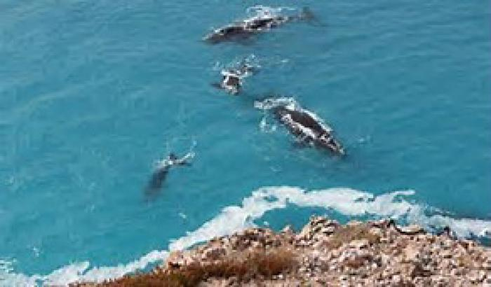Four black whales swim in a blue sea with a rocky cliff top in the foreground.