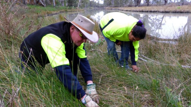 An Indigenous male and female ranger are bending over wearing gloves and working in the long grass