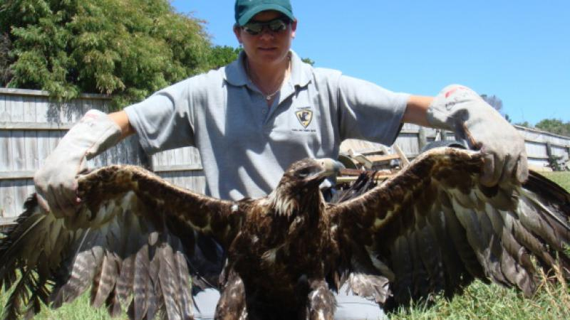 Tasmanian ranger Cindy spreading the wings of an eagle.