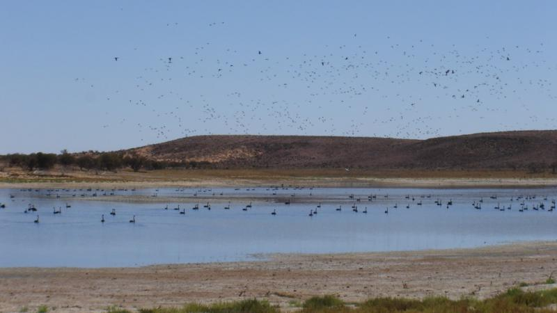 Birds flocking to Lake Mary in Kokatha lands. Photo courtesy of South Australian Arid Lands Natural Resources Management Board.