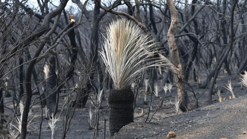 Image of burnt bushland with a grass tree in the middle of the picture. Text: Source: AAP