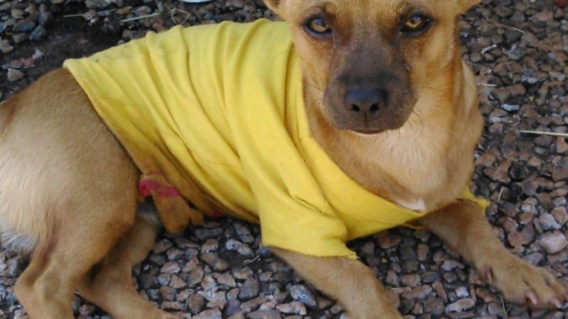 Small brown dog wearing yellow shirt lying in gravel.