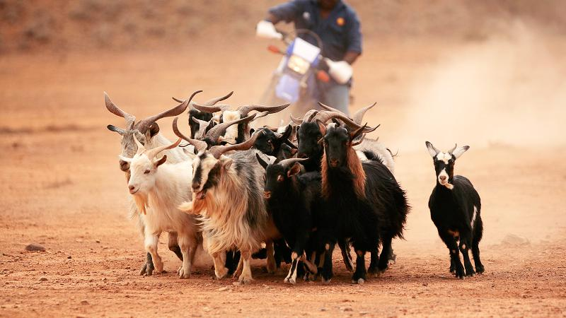 Aboriginal man on a motor bike is herding a group of goats across a dusty plain.