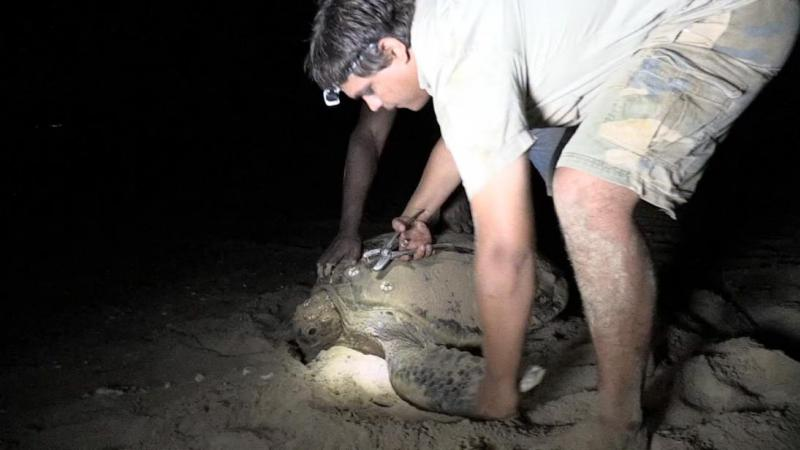 li-Anthawirriyarra Sea Ranger Sean Fitzpatrick tagging a sea turtle at night under torchlight on the sand.