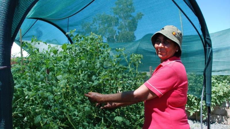 Head gardener, Sophia Byers, tends to the tomatoes in the Walgett Community Market Garden.